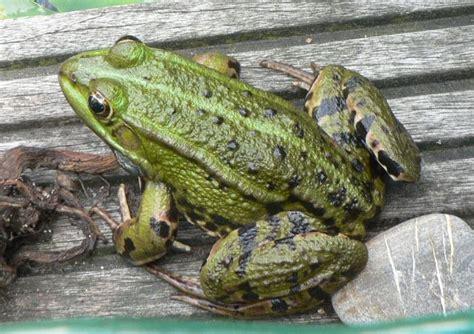 490132 green book sur les crapaud et grenouille andartha