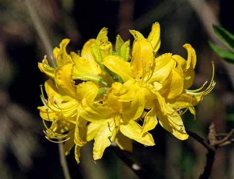 file rhododendron luteum flower jpg wikipedia