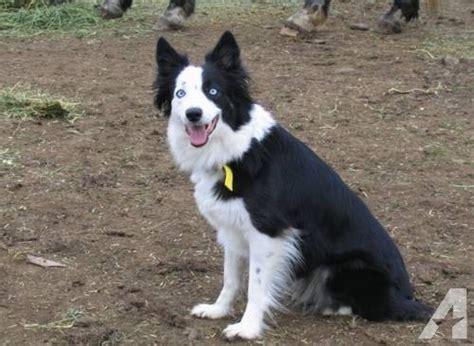 borgi puppies for sale borgi s border collie corgi mix for sale in arcadia oregon classified