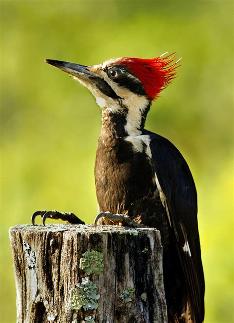 pileated woodpeckers woody lives tallahassee com