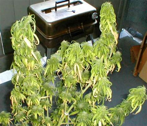 thirsty cannabis plant drooping symptoms due to underwatering marijuana grow cannabis overwatering images frompo