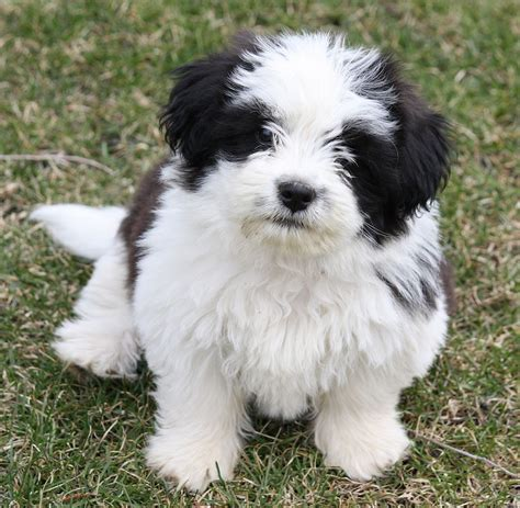 how to my shih tzu puppy to sit black and white shih tzu sitting