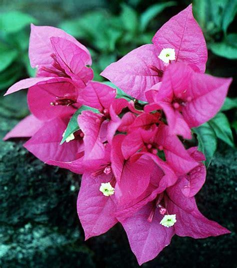 Pupuk Untuk Bunga Kertas bougenville ciri ciri tanaman serta khasiat dan