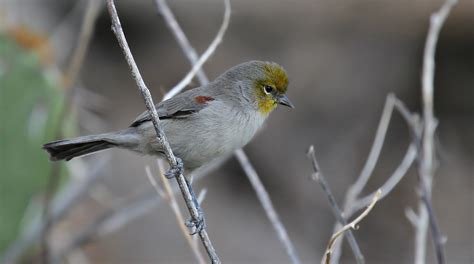 verdin arizona bird watcher