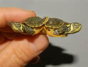 siamese yellow bellied slider for sale from the turtle source
