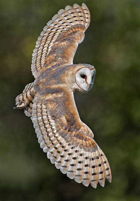 philotheoristic beautiful wildlife barn owl by wayne davies