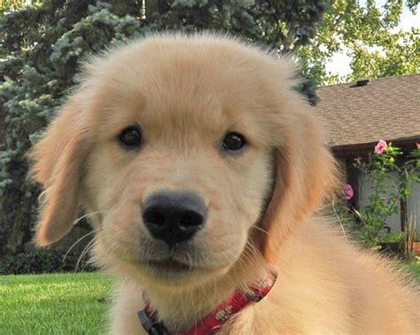 are golden retrievers family dogs golden retriever great family