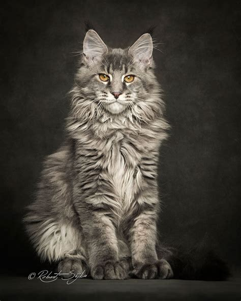 These photographs capture the majestic nature of Maine Coons