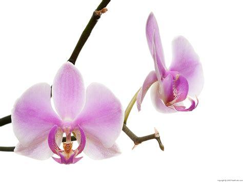 orchidea fiore fiore orchidea wallpaperart