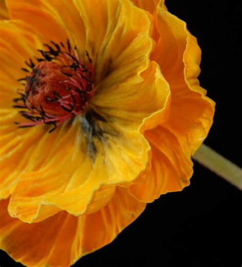 natural touch orange poppy flowers