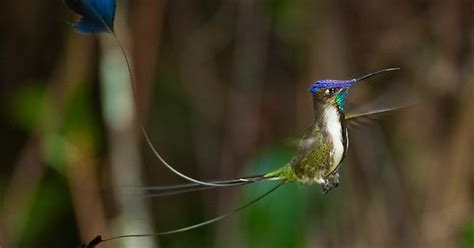 hummingbird shelter from rain spatuletail loddigesia