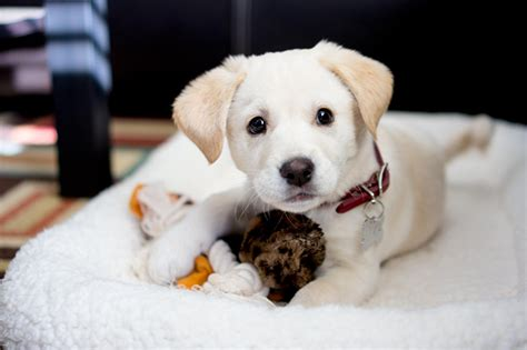 puppy in korean korean jindo breed information pictures