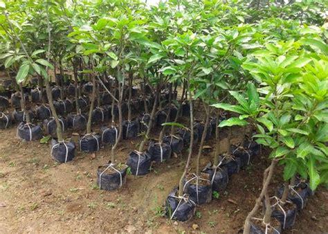 Bibit Mangga Madu cara mencangkok pohon mangga yang baik dan benar