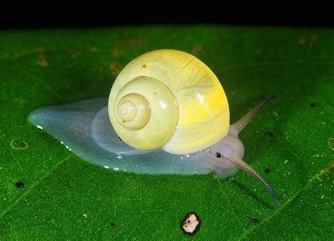 terrestrial snail pictures about animals 47 best images about snails on pinterest liberia garden