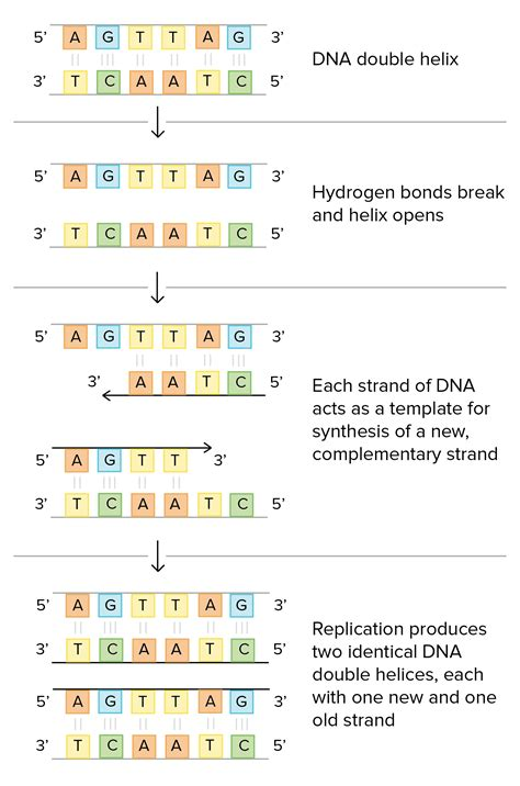 what is the template strand template strand dna choice image professional report