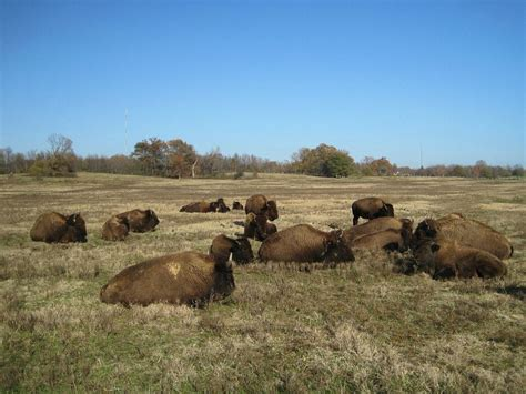 Shelby Tn Search File Bison Shelby Farms Park Tn 002 Jpg