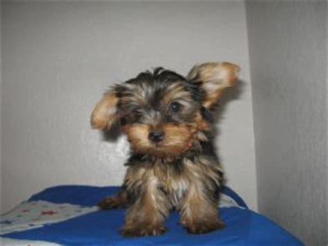 yorkie puppies lubbock tx terrier puppies in
