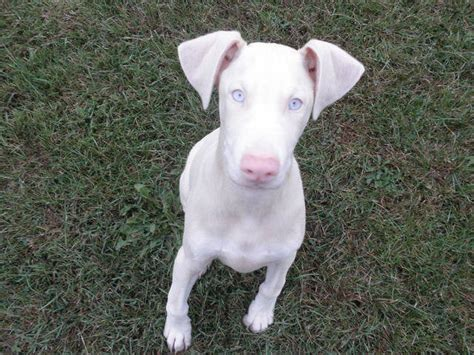 white doberman puppies for sale white doberman puppies for sale adoption from birch run michigan saginaw adpost