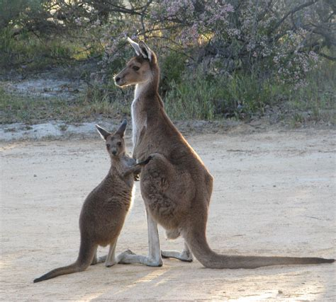 8 Animals From Australia Id To See by Dingo Memories Are Made Of This