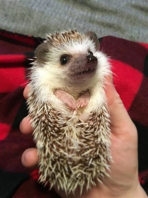 epic bench press watch hedge the weightlifting hedgehog dominate an epic bench press like it s