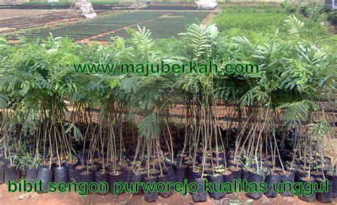 Bibit Tanaman Sengon bibit kluwek bibit picung bibit tanaman kluwek jual bibit