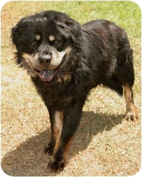 chow chow rottweiler mix goofy adopted kennel marina ca chow chow rottweiler mix