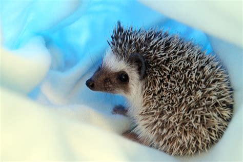 how to care for african pygmy hedgehogs