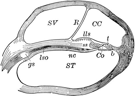 Coil Camryalphardharrier 2400 Cc Original cochlea section of clipart etc