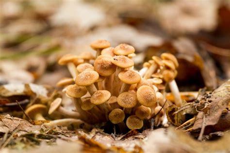 cucinare chiodini funghi tipologie e usi in cucina agrodolce