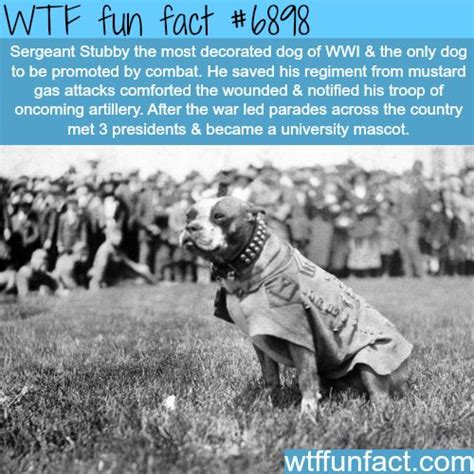 Sergeant Stubby Facts Ww1 Best 25 Sergeant Stubby Ideas On Pitbull Wiki Who Fought In Ww1 And War Dogs
