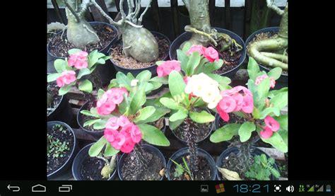 Bibit Tanaman Hias Euphorbia Merah bibit buah tanaman hias tanaman hias euphorbia bisa