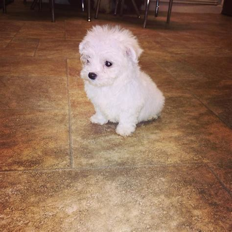 puppies for sale maltese puppies for sale neath neath port talbot