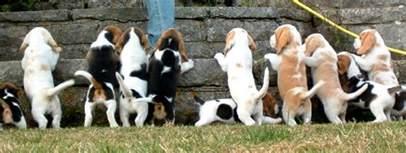 beagle colors beagle colors