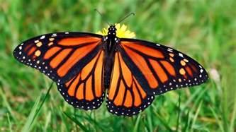 monarch color deadly animals
