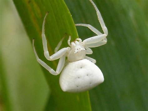 Gamis Adenium Pink Uk M the white spider creepypasta wiki fandom powered by wikia