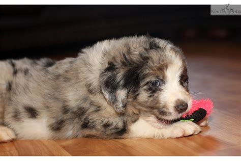 blue merle aussiedoodle puppies for sale aussiedoodle puppy for sale near richmond virginia 24a82875 9271