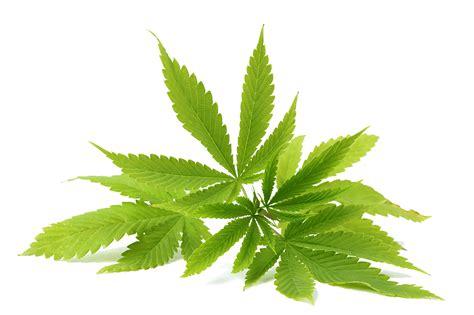cbd and hemp using cbd hemp marijuana and cannabinoids for general health benefits a step by step guide books what is cbd cbdlifeuk hemp cannabinoid supplements