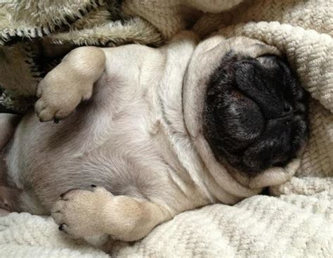 the cutest pug the cutest pug pictures seen