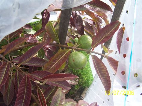 best fruit trees to grow in melbourne forum guava tees in melbourne