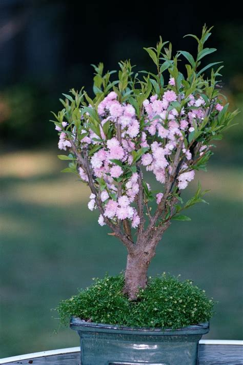 miniature fruit trees 25 best ideas about miniature fruit trees on
