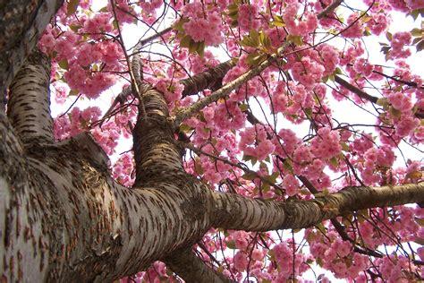 foto hd fiori sfondi primavera per desktop ciliegio in fiore sfondi