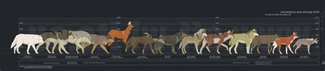 wolf size compared to maned wolf size comparison