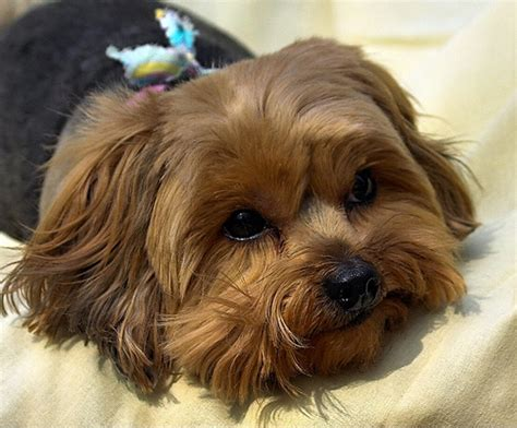 yorkie poo hairstyles pictures yorkie poo haircut pictures