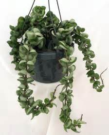 hindu indian rope plant hoya 6 quot hanging basket ebay
