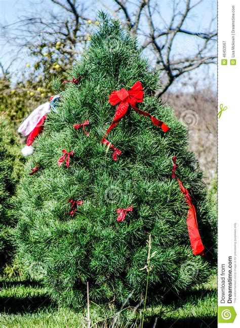 christmas tree farm stock image image of decorated sell