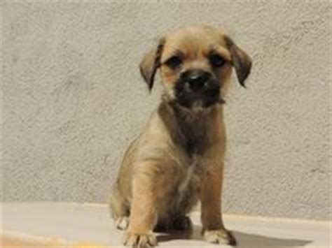 brussels griffon pug mix brussels griffon by tiffsayshello51 on brussels griffon puppies pugs and
