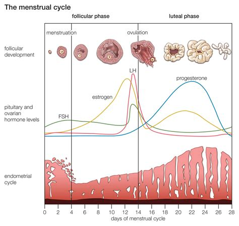Calendario Hormonal What Happens During Your Menstrual Cycle