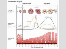 Negative Feedback Loop Female Period Cycle