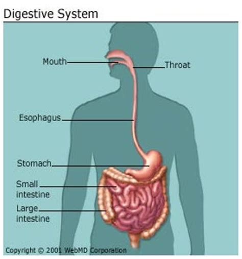 diagram digestive system 10 interesting digestive system facts my interesting facts