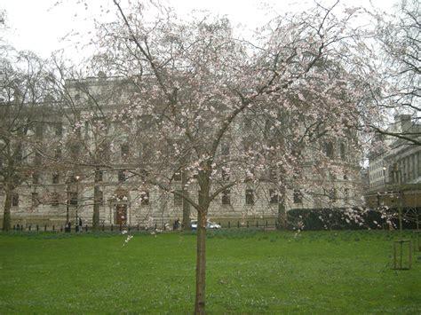 Fruit Tree Maintenance - prunus subhirtella autumnalis landscape architect s pages
